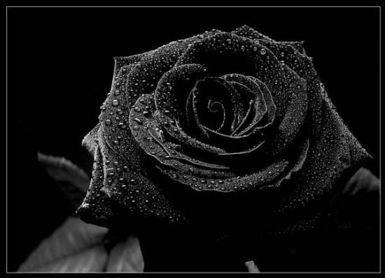 Moños Negros, Lazos De Luto Y Rosas De Duelo En Imágenes