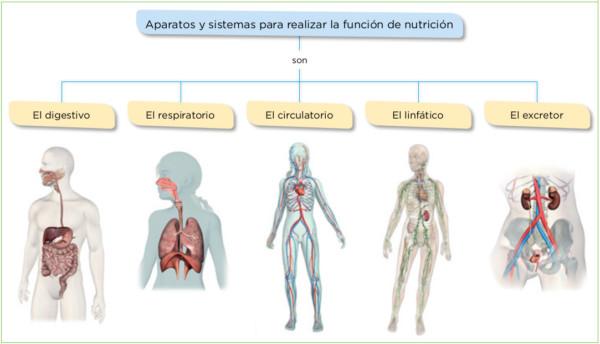 Sistemas Del Cuerpo Humano Para Niños 80 Imágenes E Información
