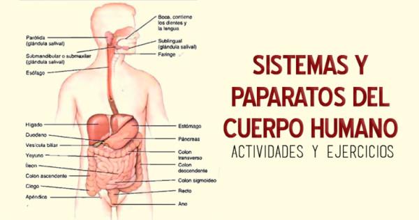 Sistemas del cuerpo humano para ni os 80 im genes e for Cuerpo humano interior