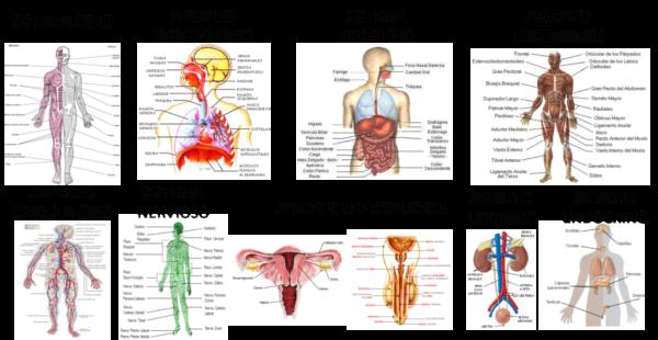 Sistemas del Cuerpo Humano para Niños + 80 Imágenes e información