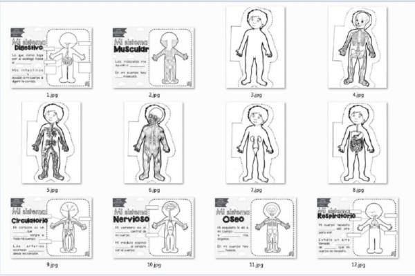 Organos del cuerpo humano para niños para colorear